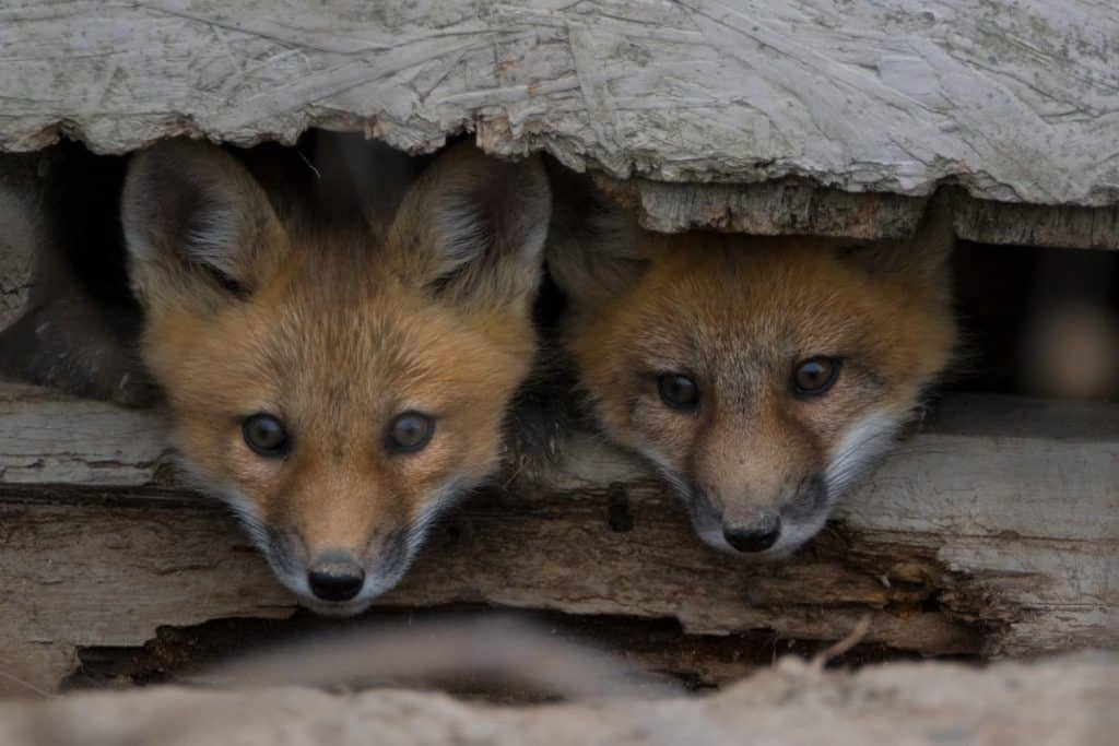 Foxes Underneath Deck at Home