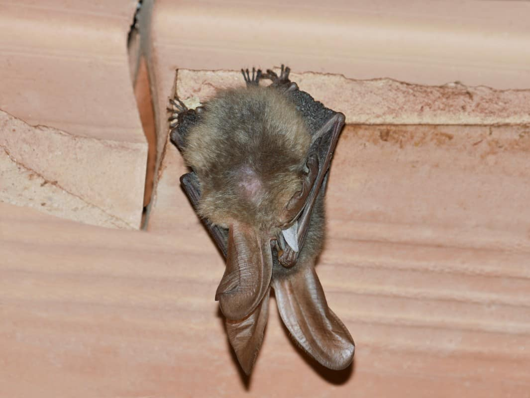 Small Brown Bat in Attic