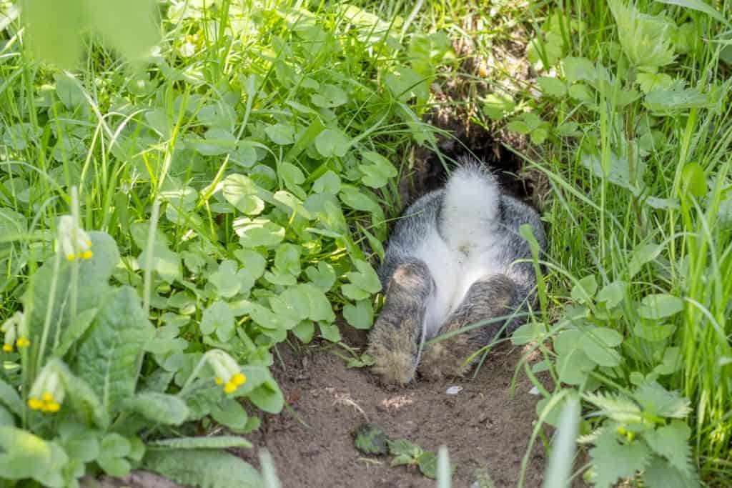 How to Stop Rabbits From Digging Holes on Your Property ...