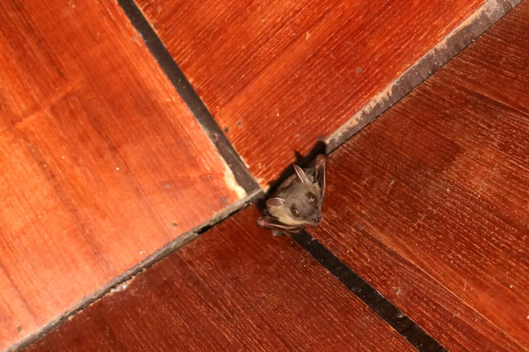 Bat on the wooden ceiling in the house.