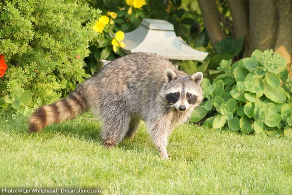9 Scents That Raccoons Hate And How To Use Them Pest Pointers Tips For At Home Pest Control