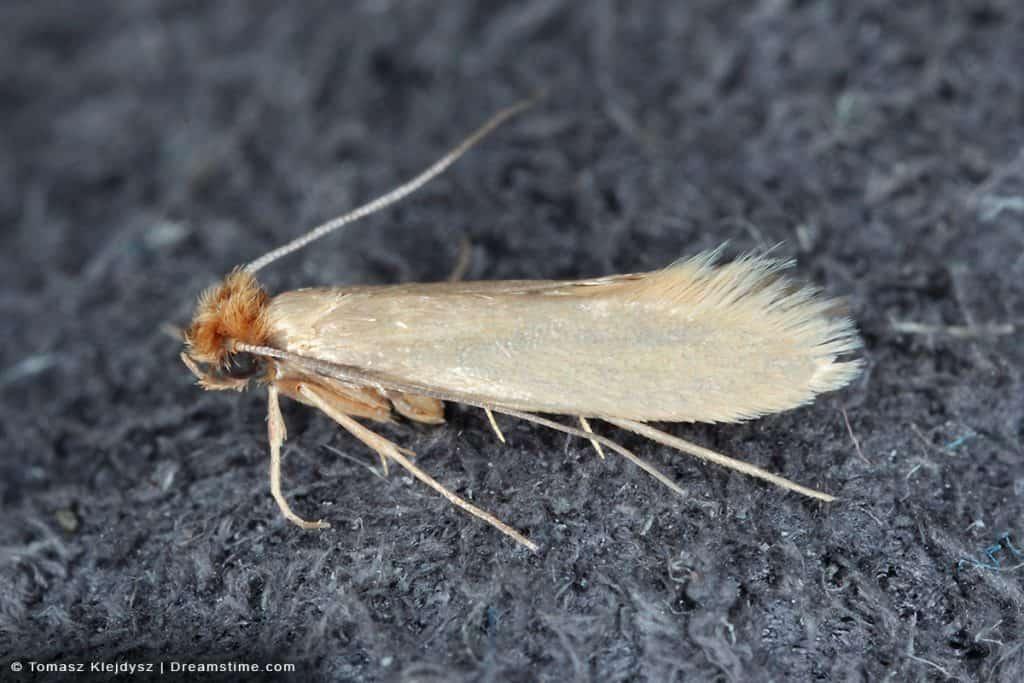 Common Clothes Moth Tineola Bisselliella on Carpet