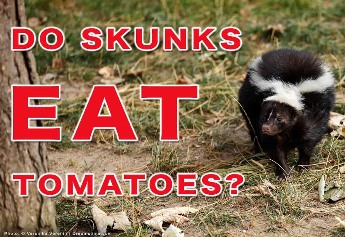 """Striped Skunk With Text """"Do Skunks Eat Tomatoes?"""""""