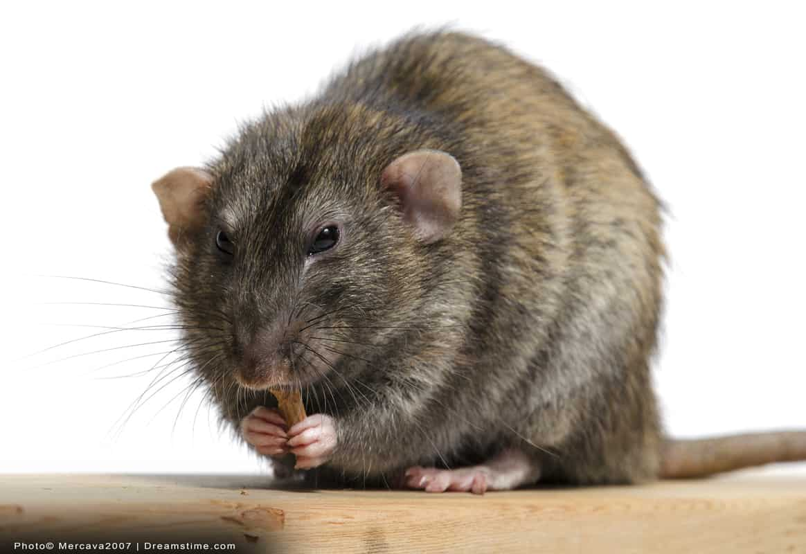 Rat on wood chewing food and holding it with hands