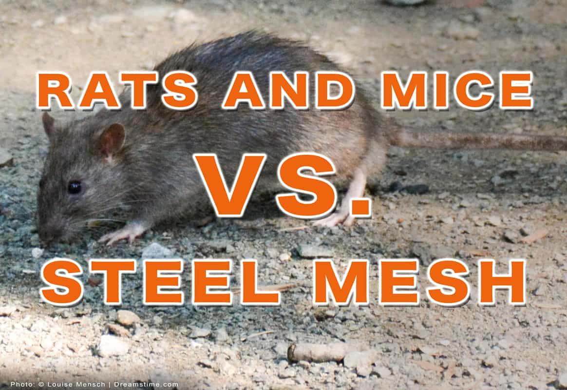 """City rat sniffing on dirt with text """"Rats And Mice Vs. Steel Mesh"""" overtop"""