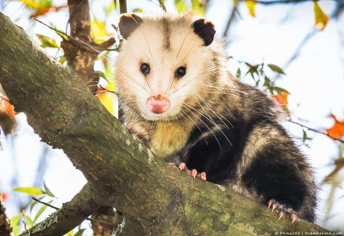 Opossum sitting on tree branch