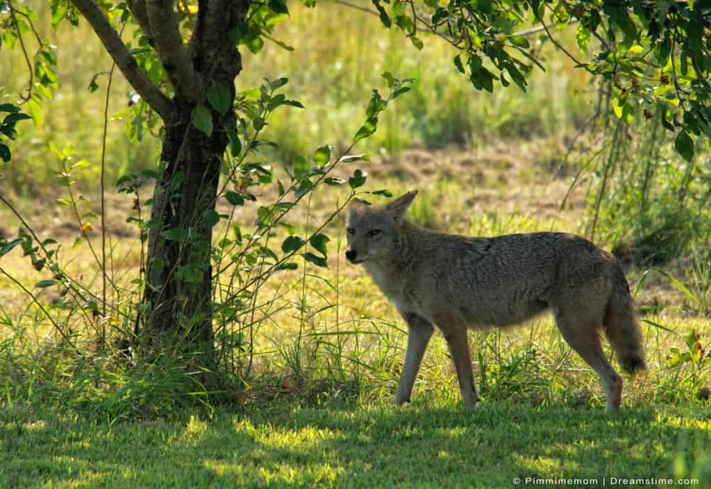 Coyote Prowling in Field Stopping In Shade