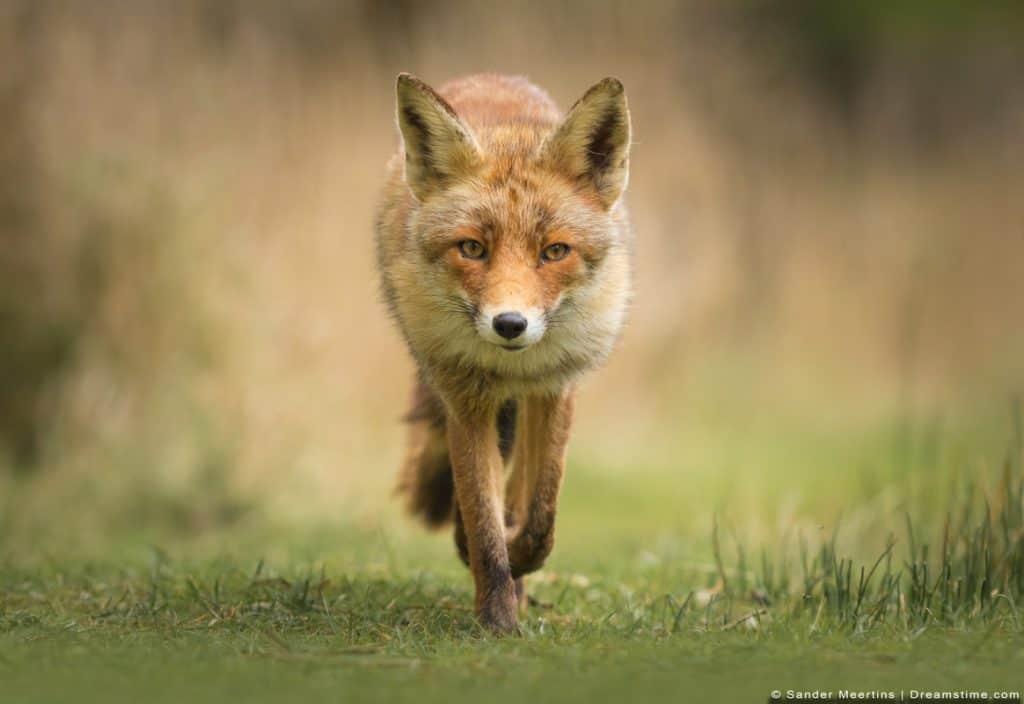 Red Fox Walking On Grass