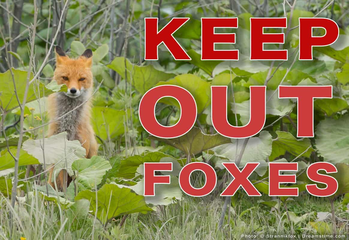 "Red Fox In Brush With Large Text ""Keep Out Foxes"" Overlayed"
