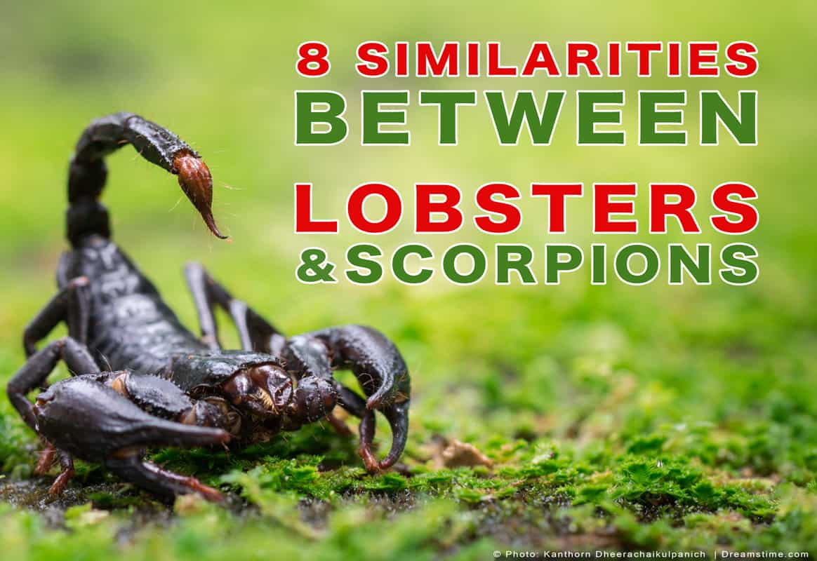 "Scorpion on Grass With Text ""8 Similarities Between Lobsters & Scorpions"" Over Top"