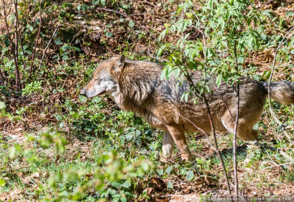 Male Wolf Marking Territory in Field