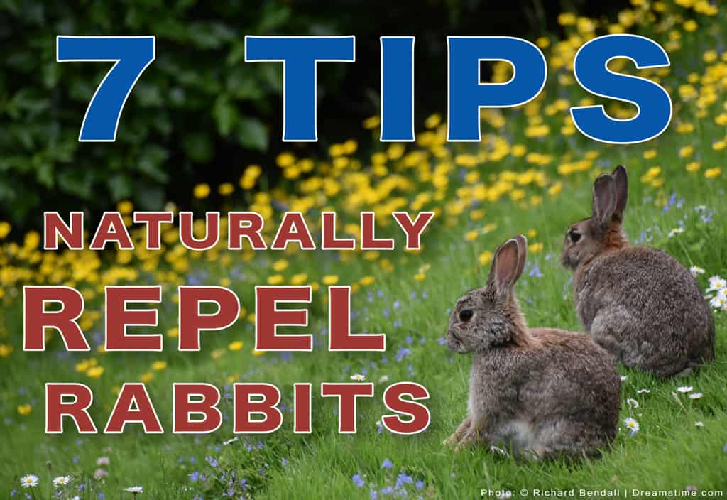 Tips To Naturally Repel Rabbits Cover Photo Rabbits In Field