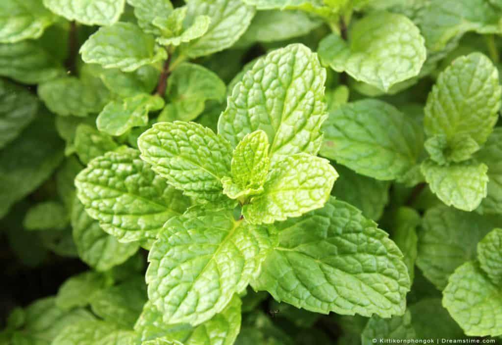Peppermint Plant Up Close