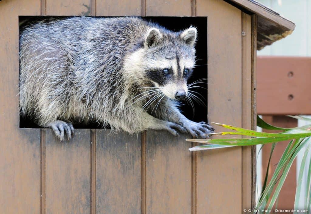 Raccoon Leaping Into Yard