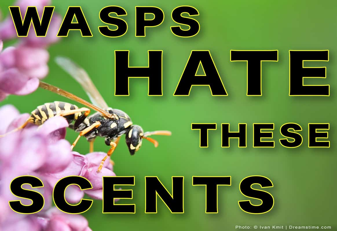 """Yellowjacket Wasp on Flower with Text """"Wasps Hate These Scents"""""""