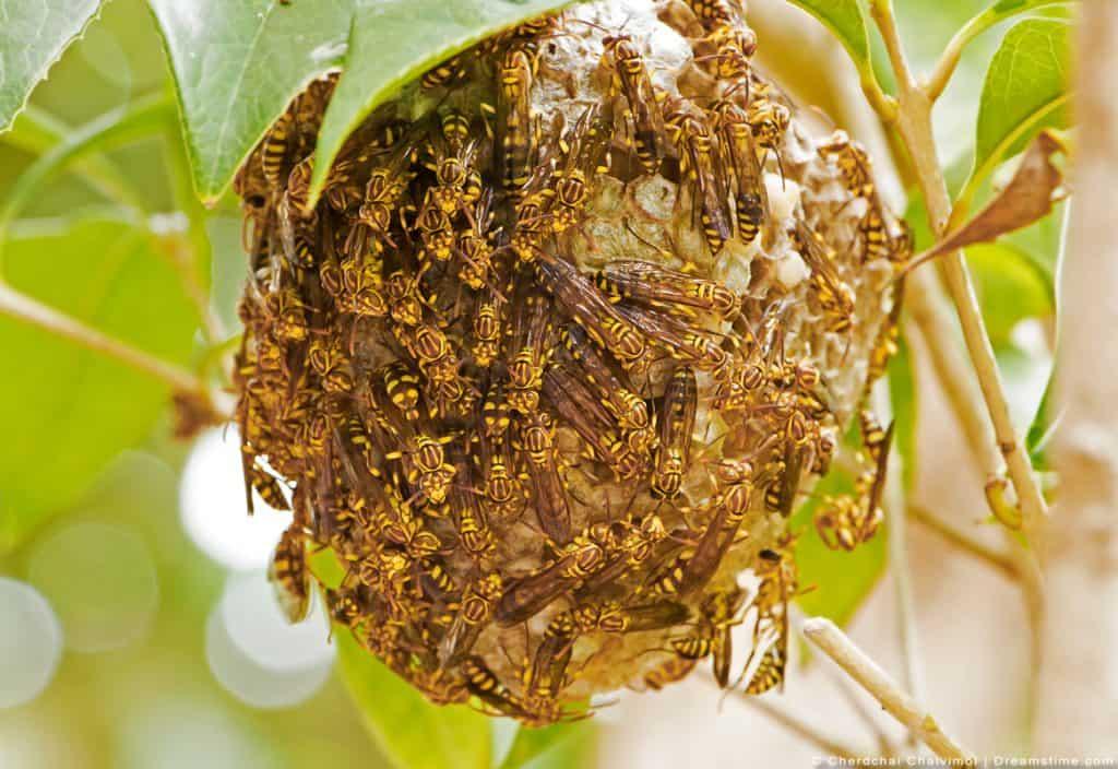 Swarm of Wasps on Nest