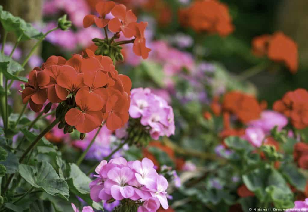 Up Close Shot Of Geraniums In Garden