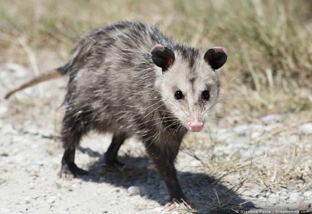 Virginia opossum walking on dirt