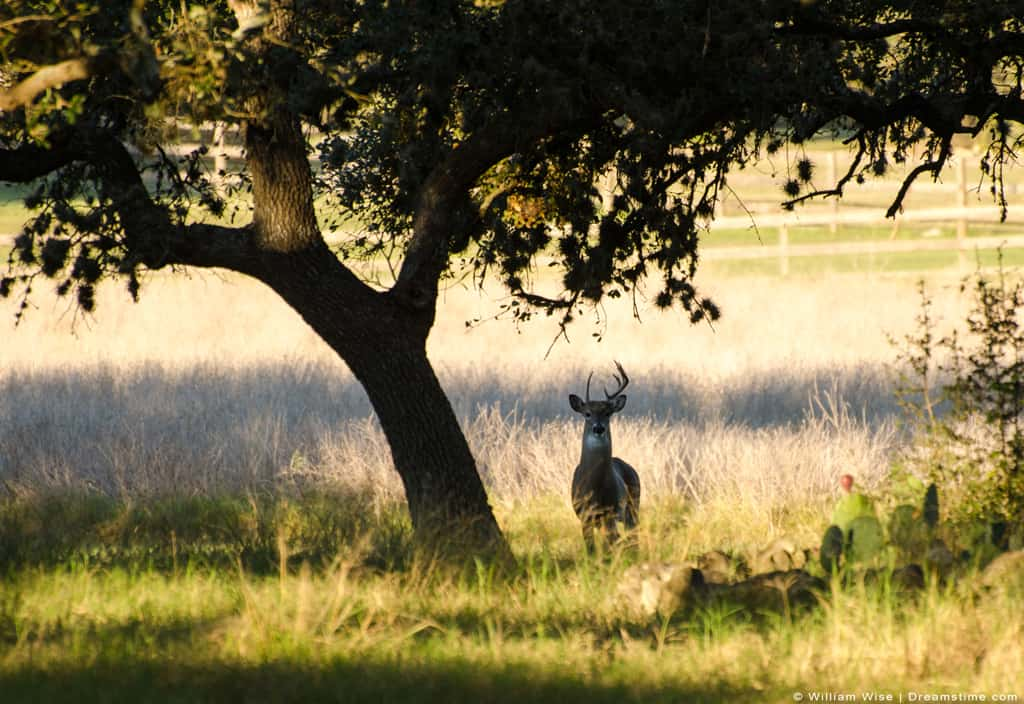 White Tailed Deer Standing Under Tree