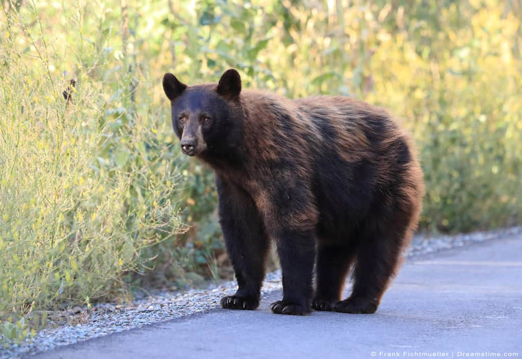 American Black Bear on Road by Tall Grass