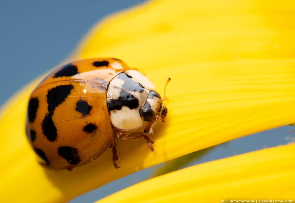 Asian ladybeetle outside on flower