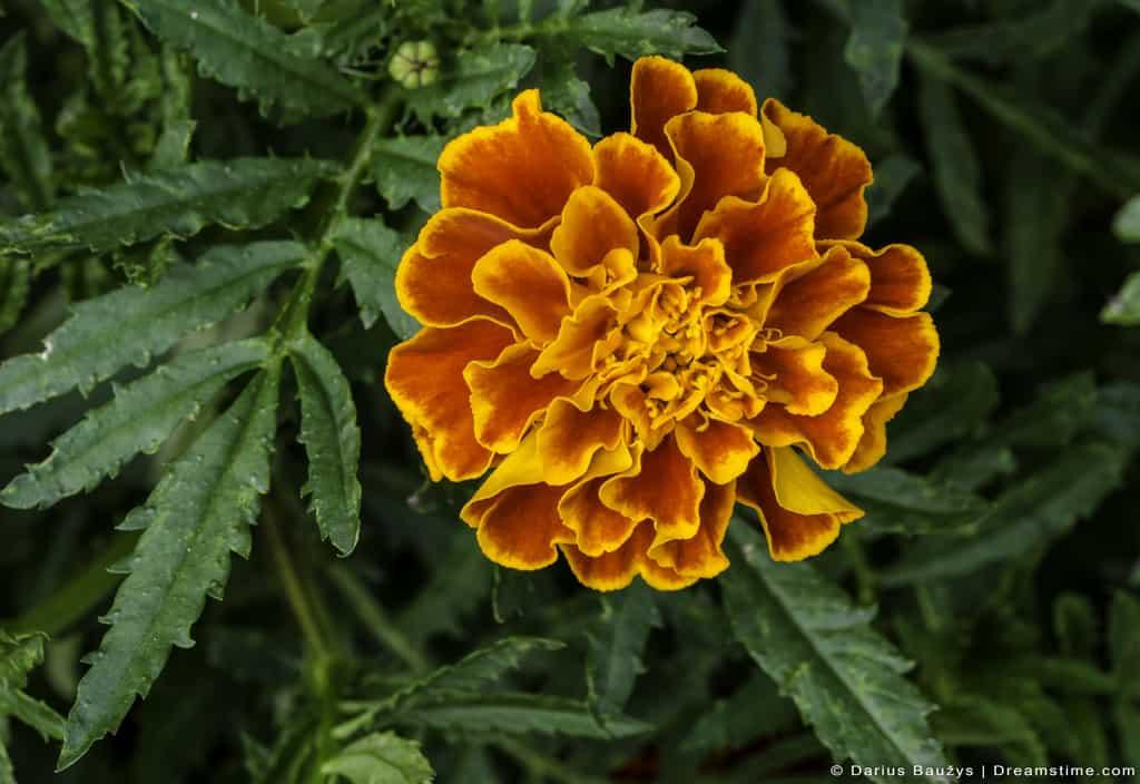 Beautiful French Marigold Outside