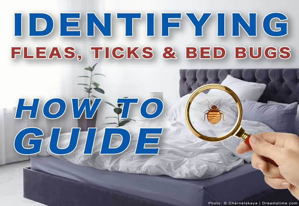 """Woman Holding Magnifying Glass Over Bed, Showing Bed Bug With Text """"Identifying Fleas, Ticks and Bed Bugs, How To Guide"""" Overtop"""
