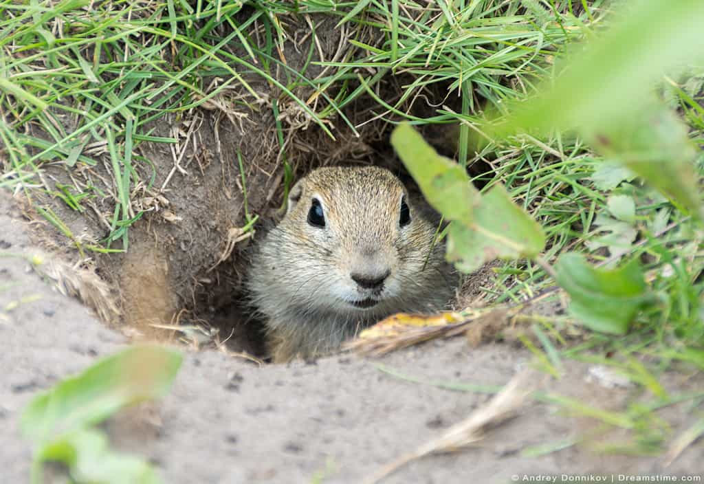 Gopher Looking Out Of Hole