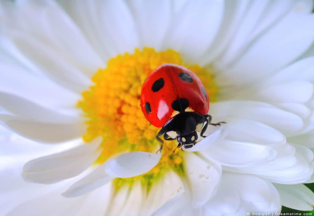 Ladybug Ladybird Outside On Flower