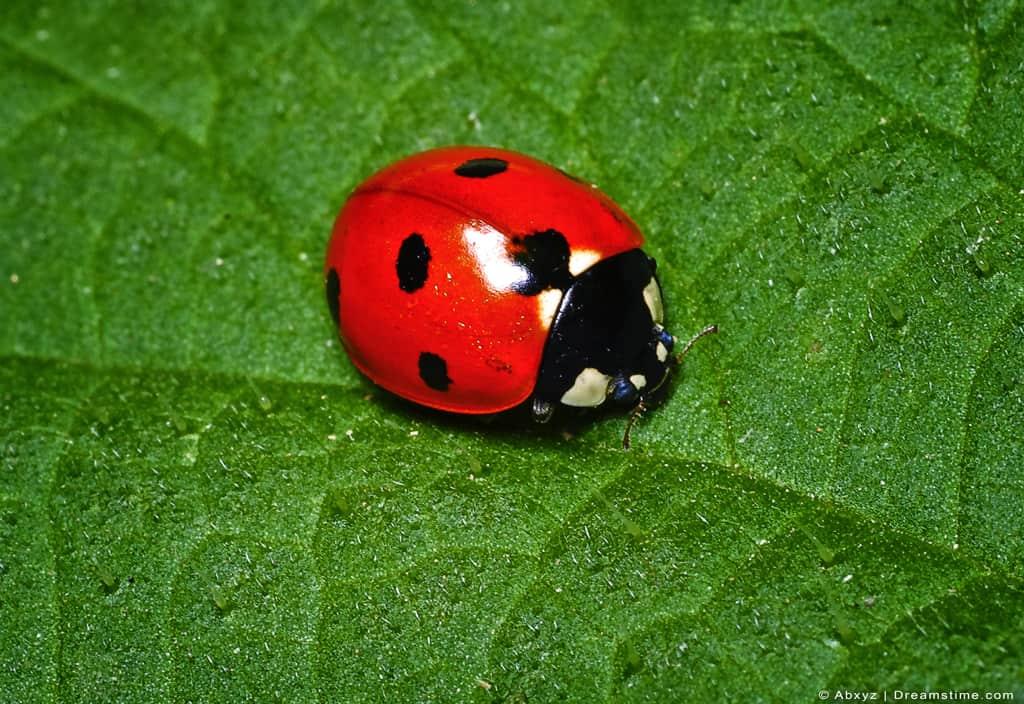 Ladybug Ladybird Macro Shot Close Up On Green Leaf