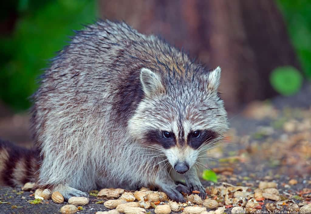 Raccoon Eating Off Ground With Paws