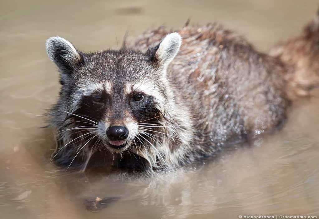 Raccoon Swimming In Lake