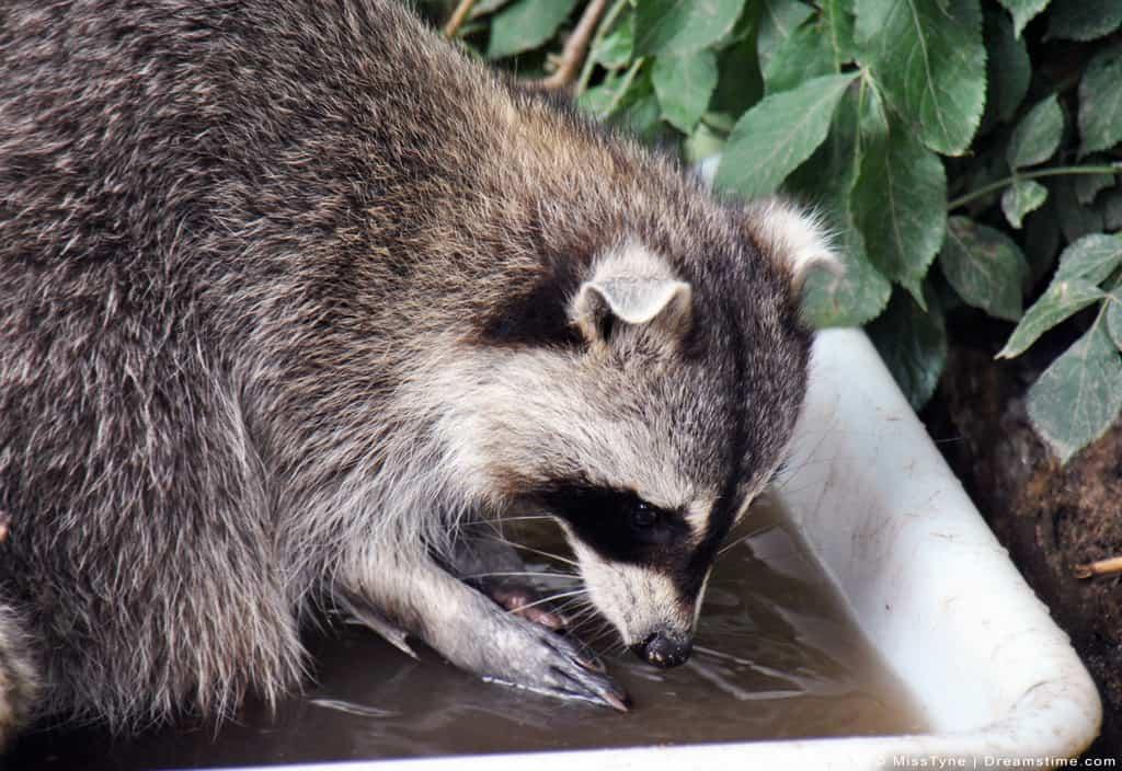 Raccoon Washing Paws Before Eating