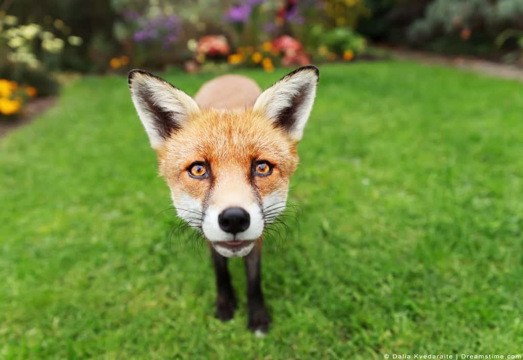 Red Fox Standing Up Close In Backyard Garden