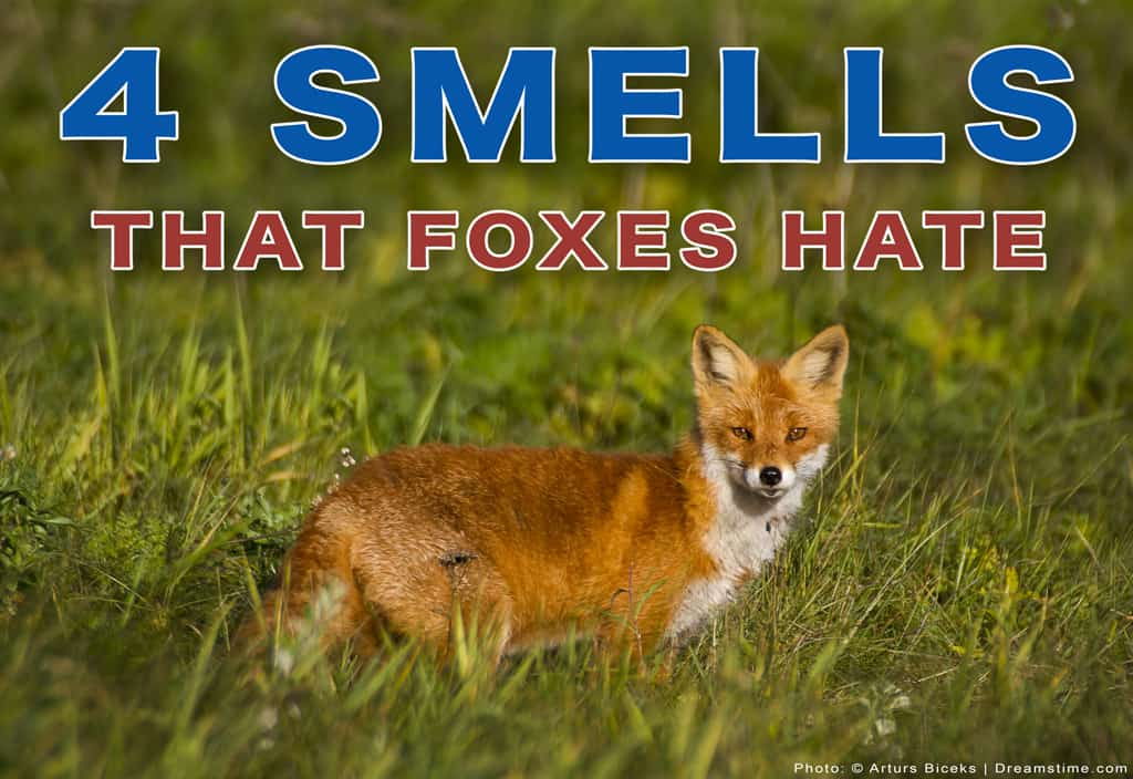"""Red Fox Standing in Field With """"4 Smells That Foxes Hate"""" Text Overlay"""