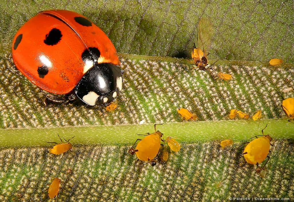 Up Close Shot of Lady Bug and Aphids on Plant
