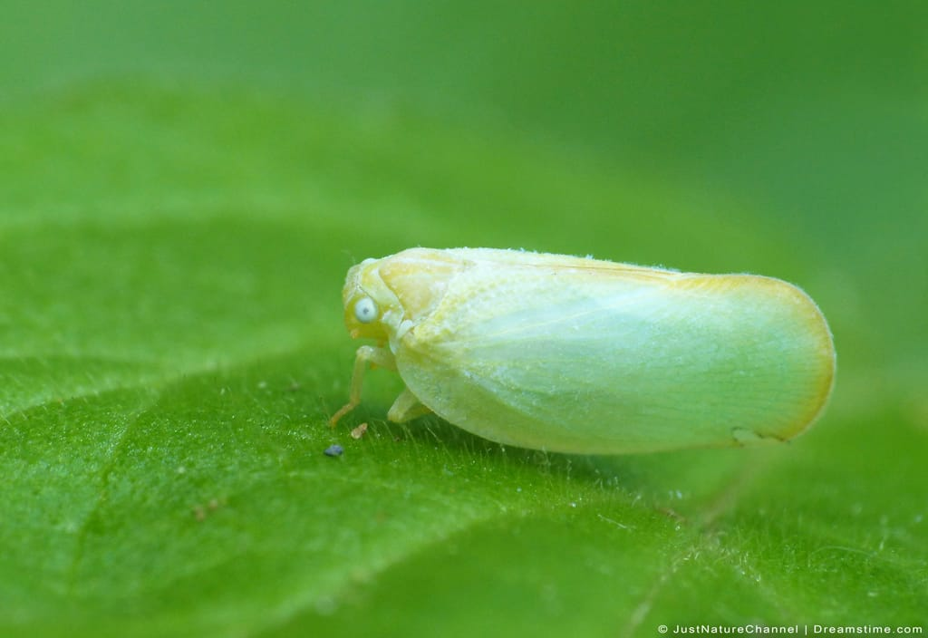 Closeup of Whitefly on Green Leaf
