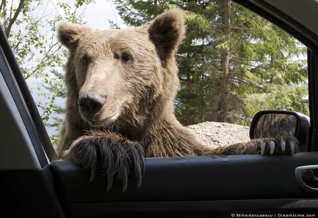 Young Wild Bear on Car Window