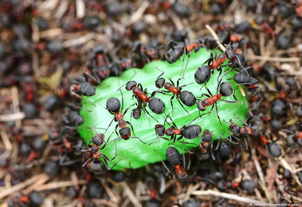 Group of Black Ants Eating Green Candy