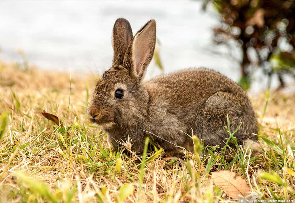 Brown Rabbit in Green and Brown Grass