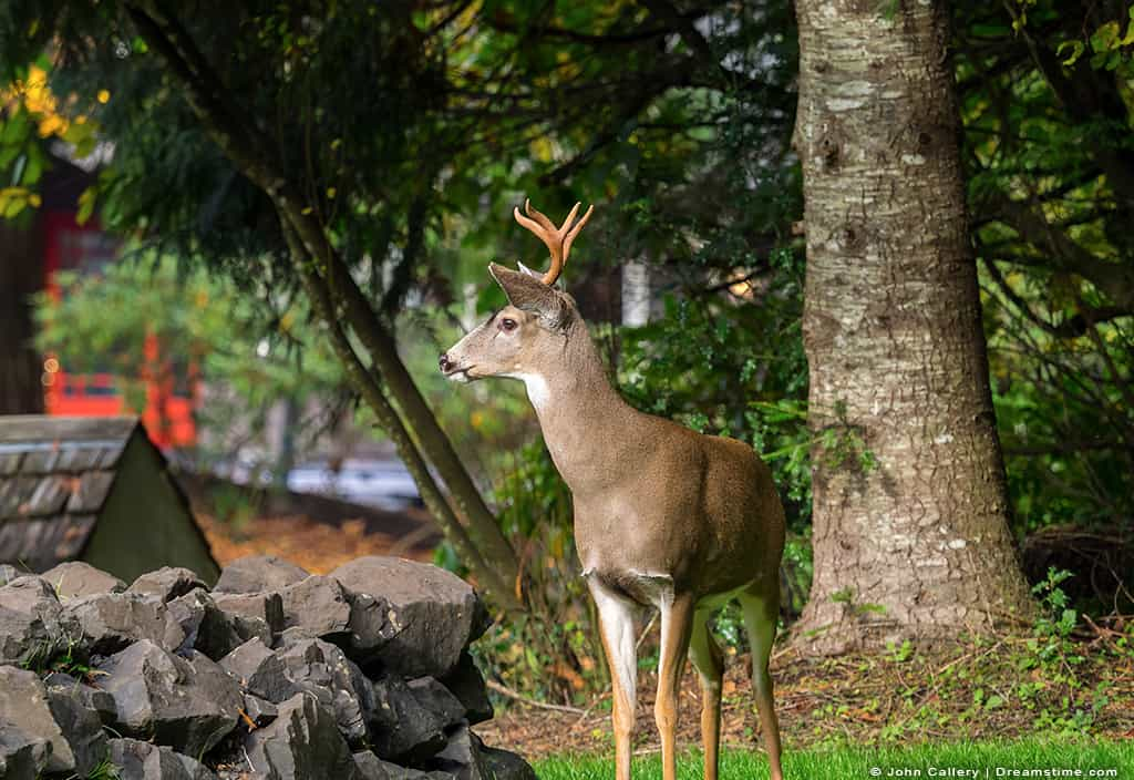 Buck Deer in Garden With Antlers