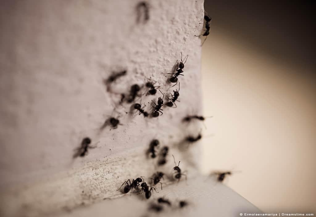 Black Carpenter Ants on Wall Crawling.