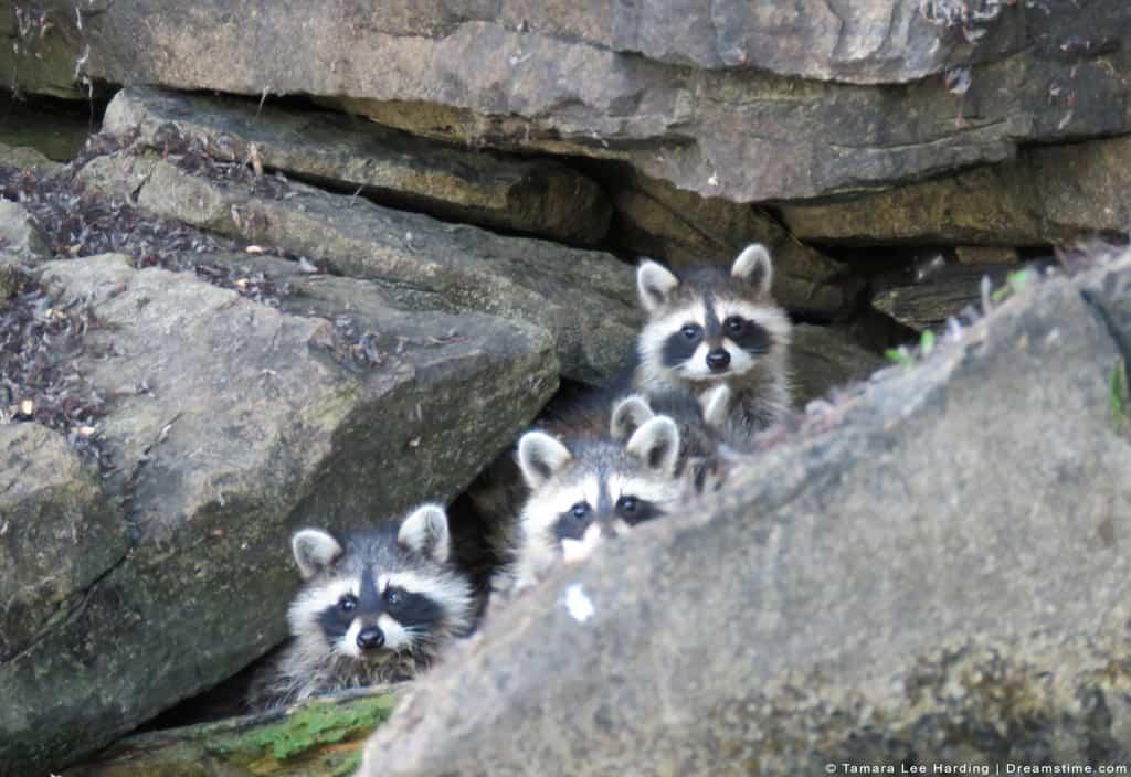 Three Raccoon Kits Behind Rocks
