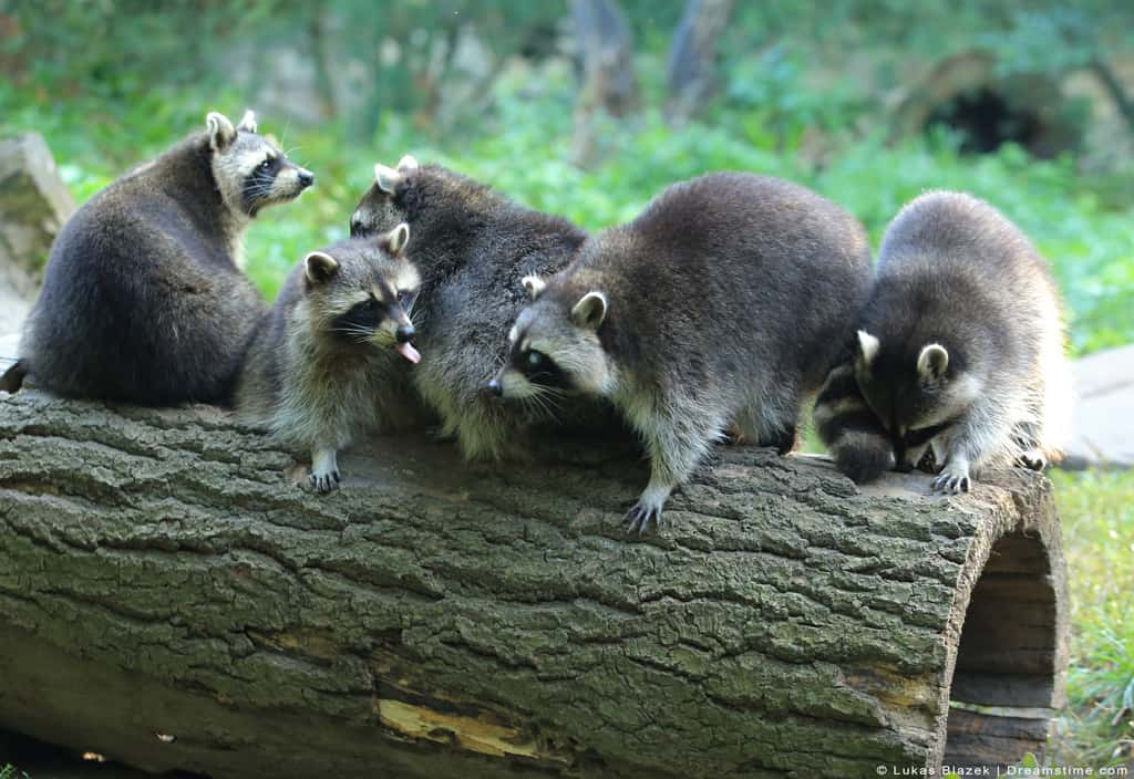 Group of Raccoons in Log on Woods
