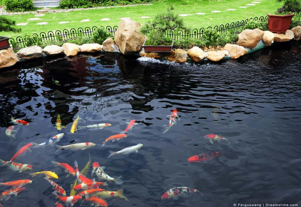 Koi Pond in Garden Fish