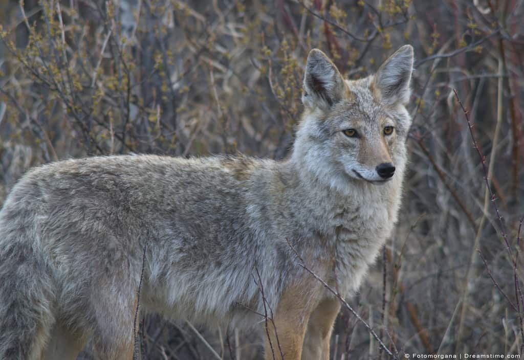 Portrait of Coyote In Tall Tan Grass Natural Predator of Rabbit