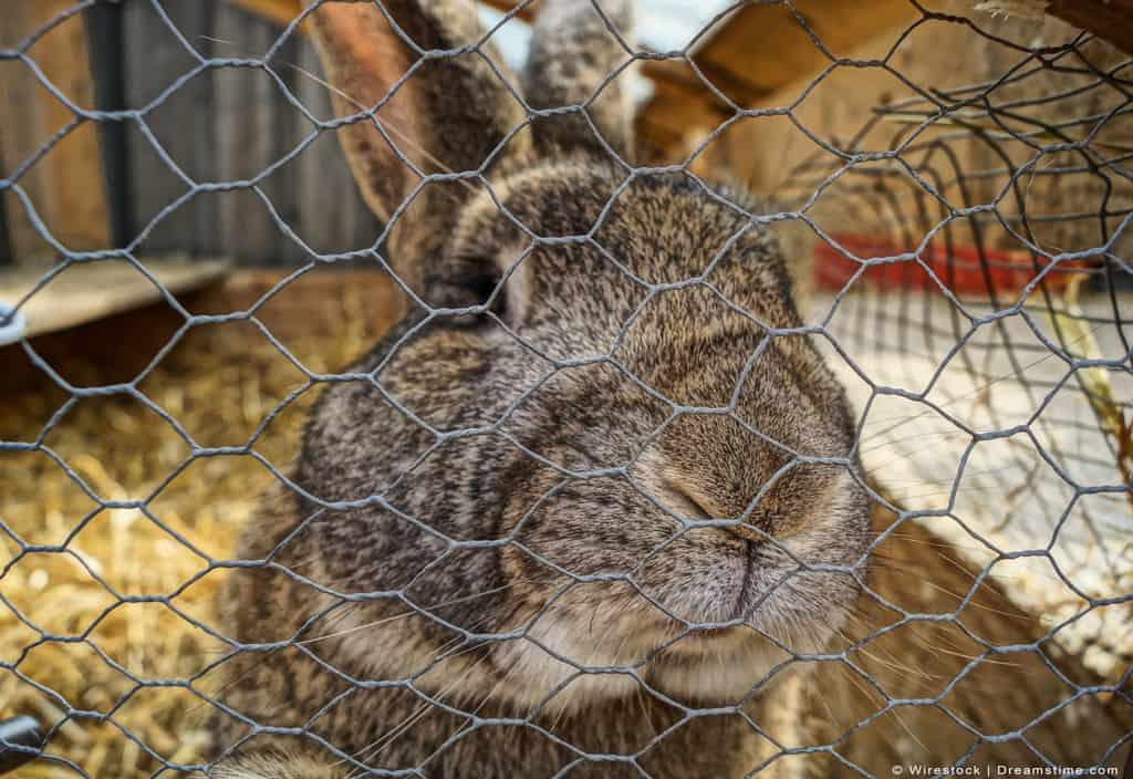 Rabbit Inside of Fence Looking Outward