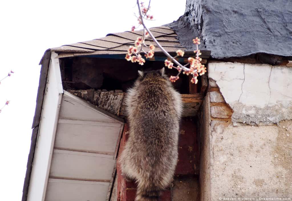 Raccoon Climbing Inside of Attic