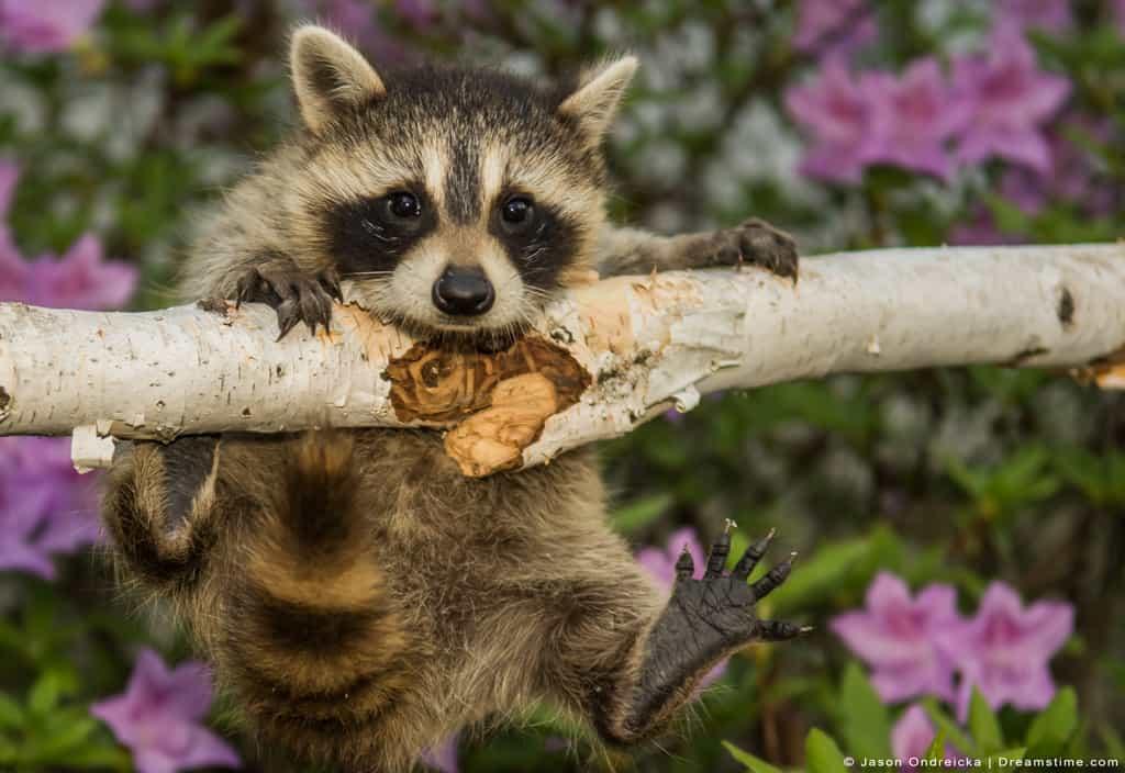 Raccoon Kit Hanging on Log Playful