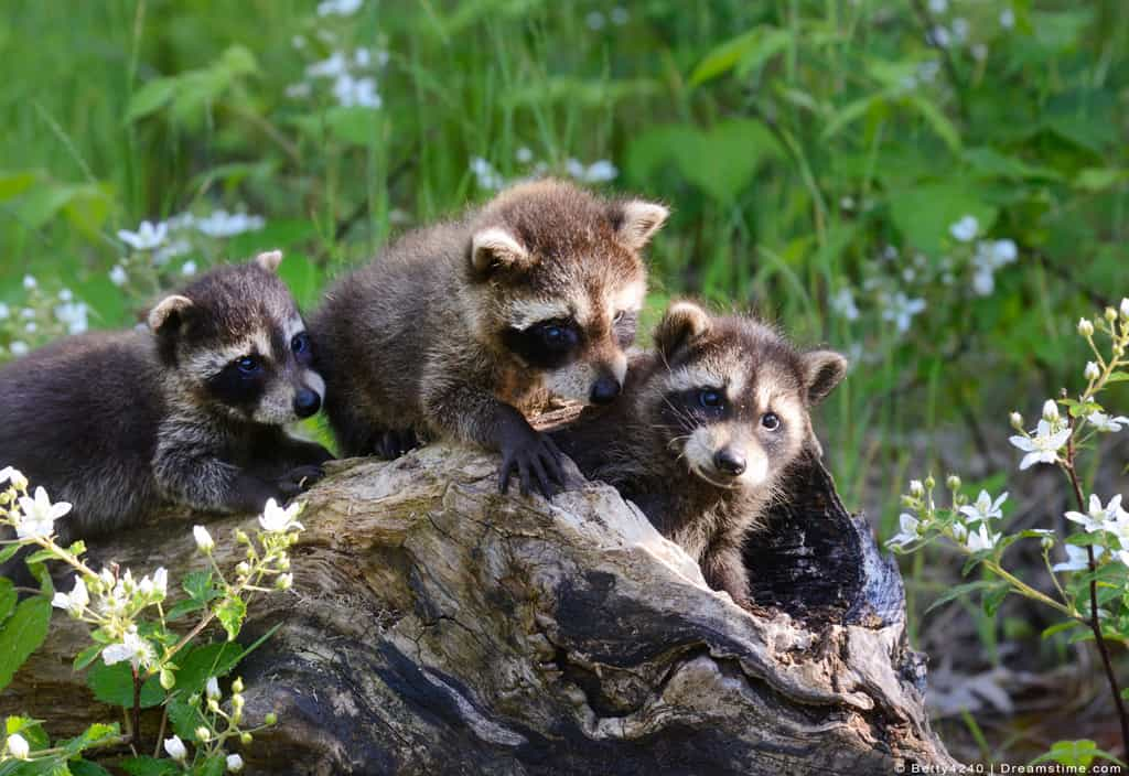 Raccoon Kits Playing on Log in Wild